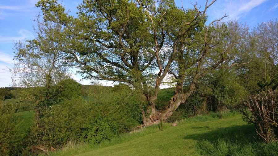 gtod21 2 Old Hendre Oak 900x506