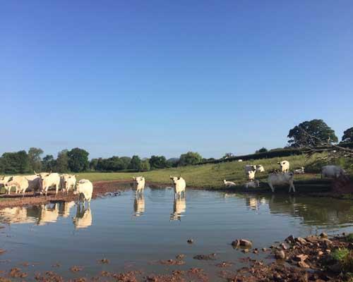 gtod21 Parc Grace Dieu Fm Frank Sutton Cows 500x400